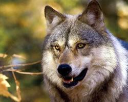 イヌは知的障害のオオカミであると明らかに!人間の知的障害の場合と同じ遺伝子が欠損。頭は悪いが優しくなった  [144732829]->画像>185枚